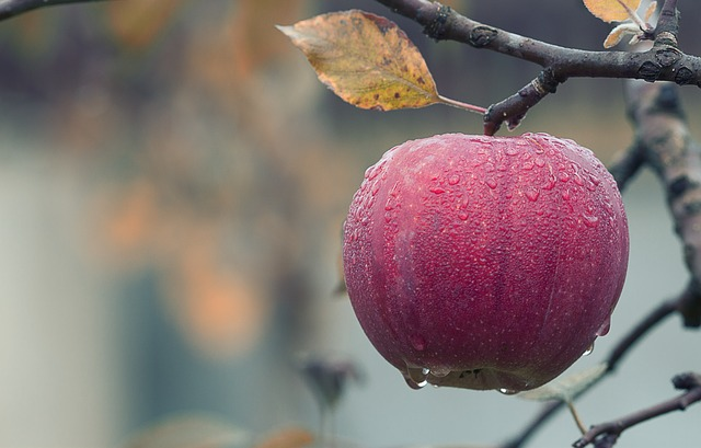 תפוח עץ על העץ