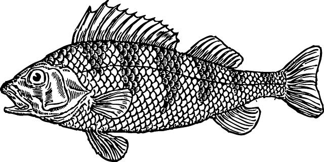איור של דג קוד - בקלה