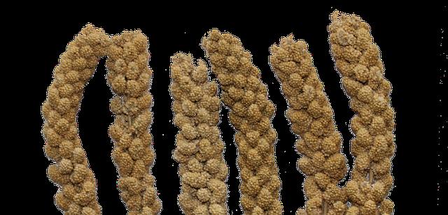 צמחים עם זרעי דוחן
