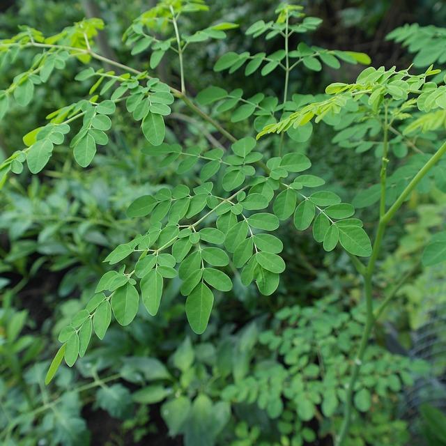 צמח המורינגה