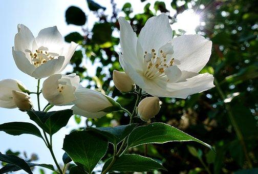 פרח יסמין